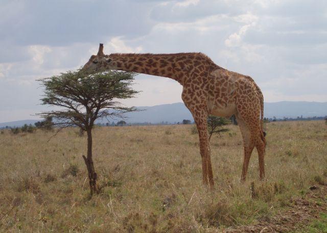 Nairobi National Park - bara en kvart bort från Nairobis centrum