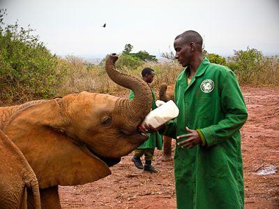 Matdags för elefanter i Nairobi NP