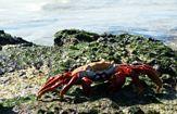 krabba på sten ecuador